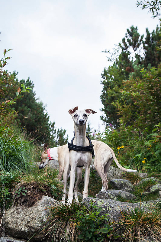 Two Whippets One Way by Alie Lengyelova for Stocksy United