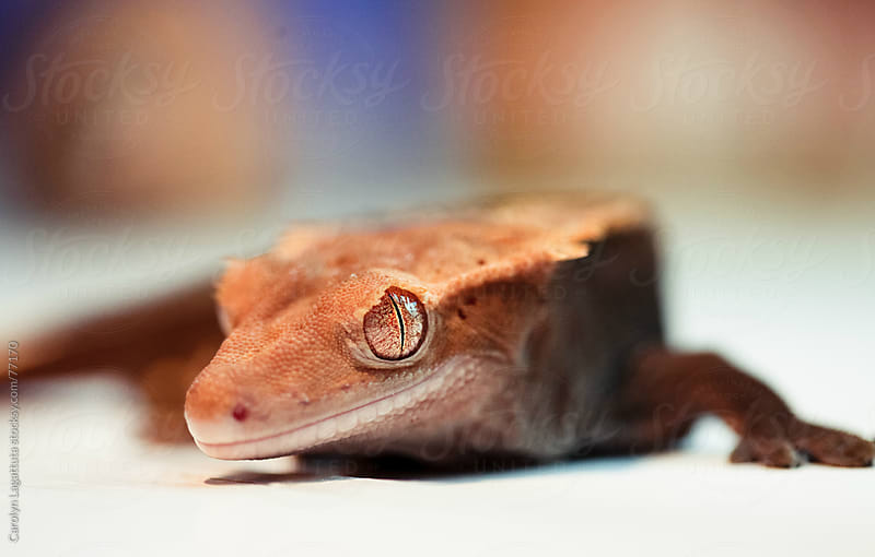 Eyelash crested gecko by Carolyn Lagattuta for Stocksy United