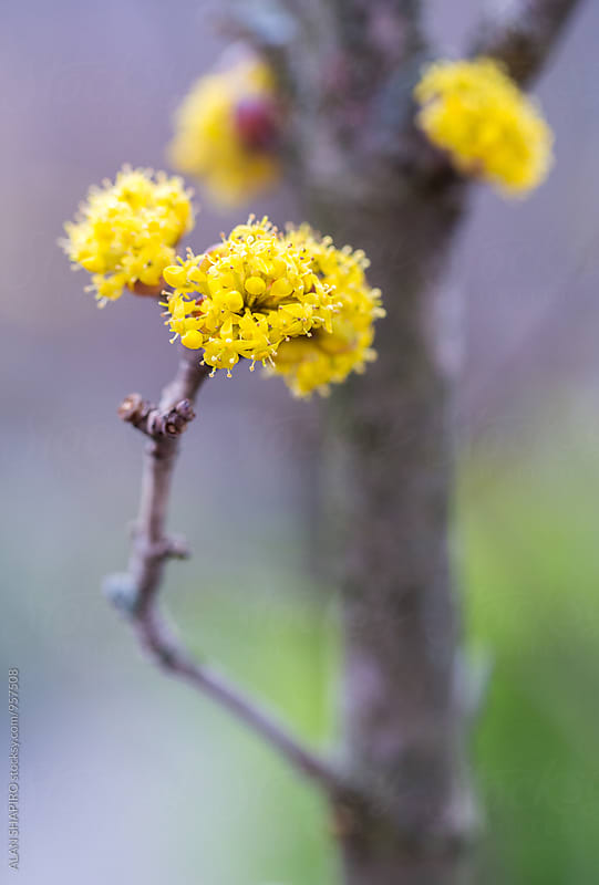yellow blossoms on tree by alan shapiro for Stocksy United