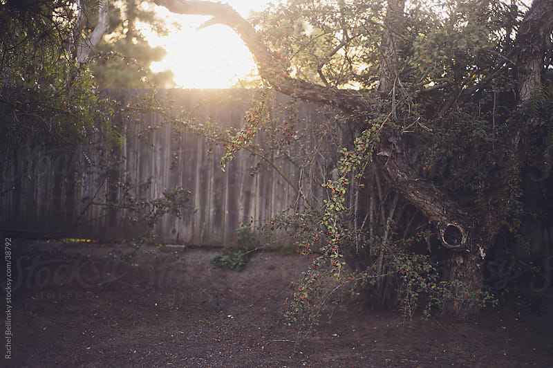 A weathered tree and fence in the late afternoon sun with red berries by Rachel Bellinsky for Stocksy United