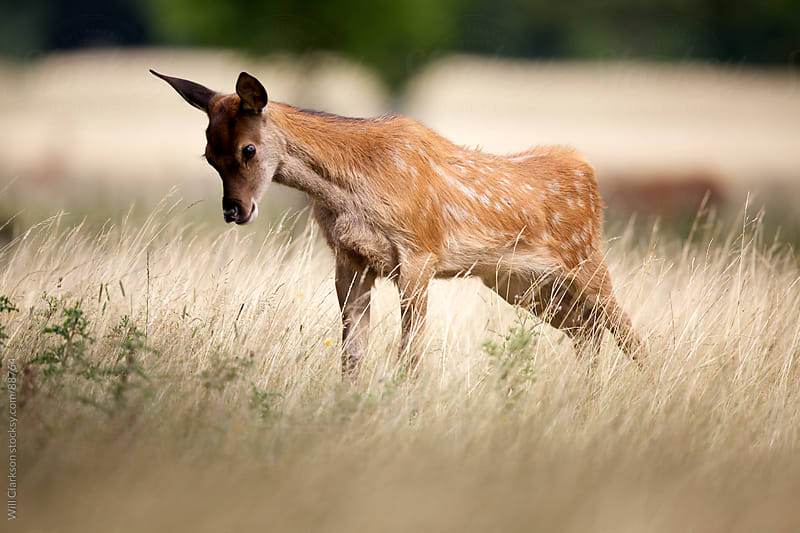 A young red deer stretching  by Will Clarkson for Stocksy United