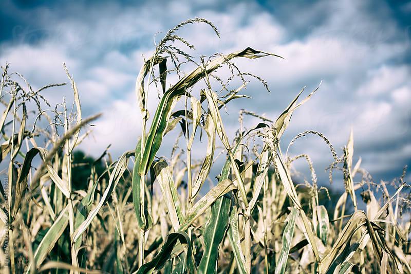 Corn field (vintage look) by Harald Walker for Stocksy United