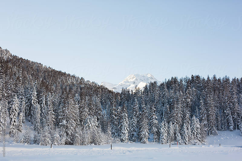 Conifer trees on snowy Swiss Alps by michela ravasio for Stocksy United