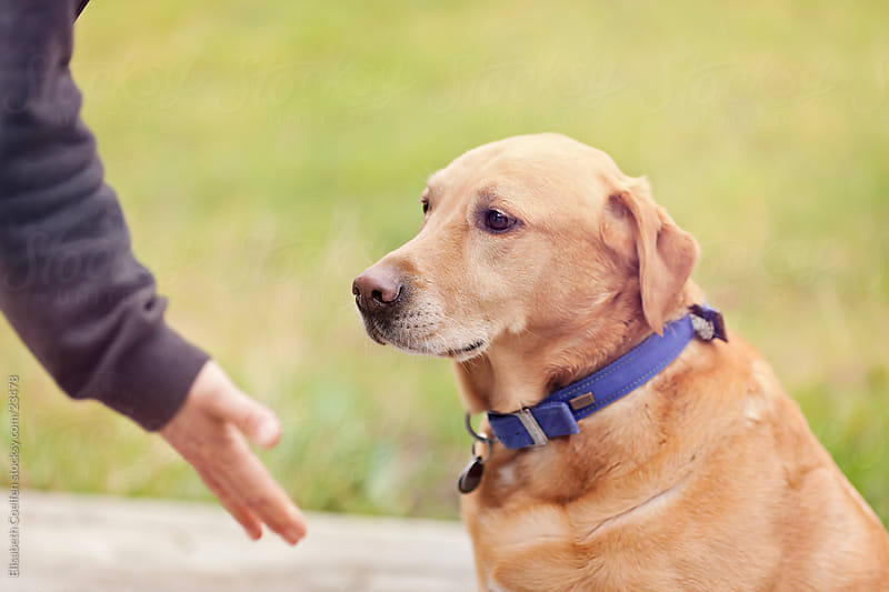 Man encouraging Labrador retriever to give paw by Elisabeth Coelfen for Stocksy United
