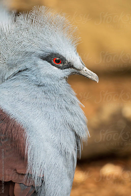 Gray bird with red eye by ACALU Studio for Stocksy United