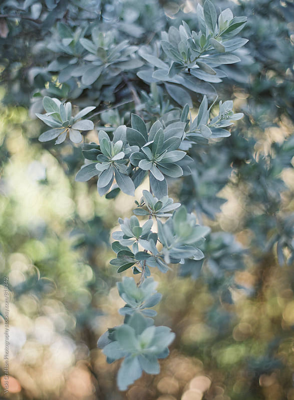 Blue Green Foliage  by Vicki Grafton Photography for Stocksy United