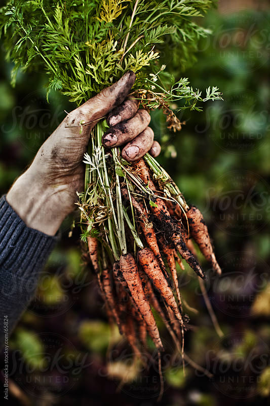 Dirty handing picking carrots by Ania Boniecka for Stocksy United