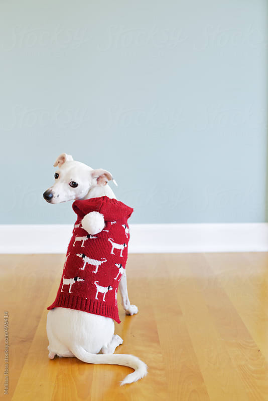 Cute dog posing in a red sweater. by Melissa Ross for Stocksy United