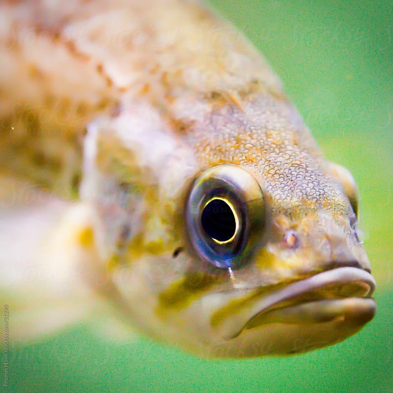 fish by Thomas Hawk for Stocksy United