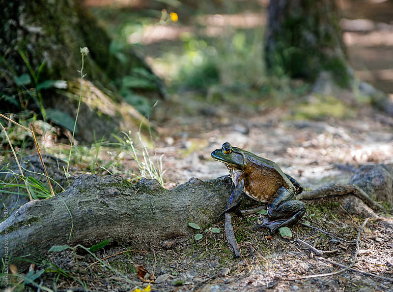 Large frog in woods, hopping towards the pond by Cara Dolan for Stocksy United