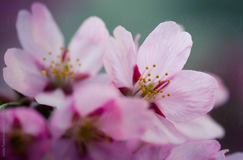 Pink Kawazu Sakura by Leslie Taylor for Stocksy United