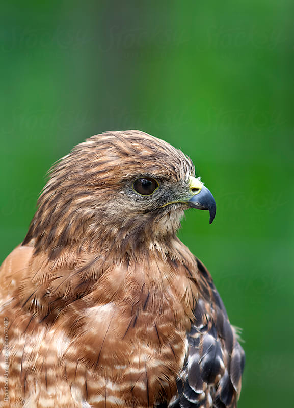 Red-Shouldered Hawk Closeup Portrait by Brandon Alms for Stocksy United