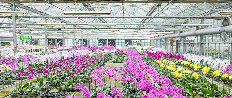 Beautiful view on blossoming orchids in greenhouse by Lawren Lu for Stocksy United