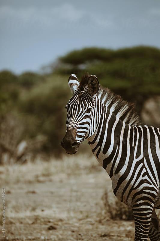 zebra in the african bush of tanzania by Levi Tijerina for Stocksy United