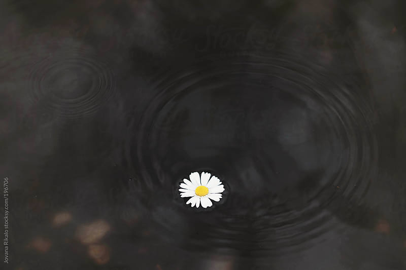 Wild flower in a puddle by Jovana Rikalo for Stocksy United