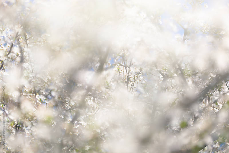 Blooming Tree by Good Vibrations Images for Stocksy United
