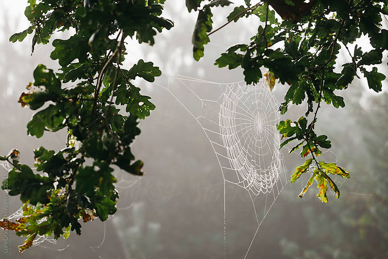 Dew covered cobweb on an oak tree in fog. Norfolk, UK. by Liam Grant for Stocksy United