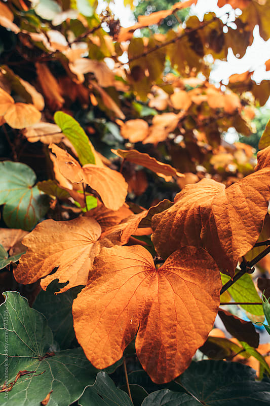 Orange autumn leaves on tree branches by Jovo Jovanovic for Stocksy United