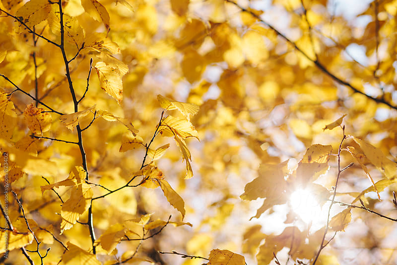 Yellow leaves lit from behind by the sun. Autumn background by Aleksandar Novoselski for Stocksy United