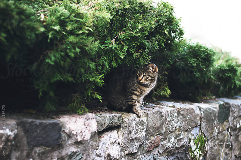 Cat on a stone wall hiding under bush by Jovana Rikalo for Stocksy United