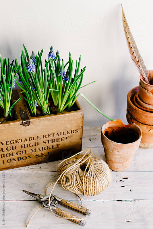Grape Hyacinth in a wooden box on a potting bench. by Helen Rushbrook for Stocksy United