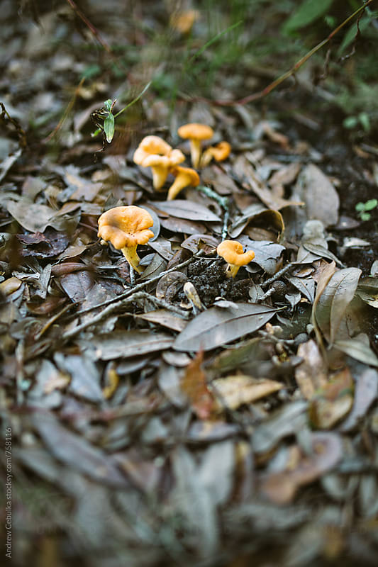 Chanterelle Mushroom Foraging- Digital File by Andrew Cebulka for Stocksy United