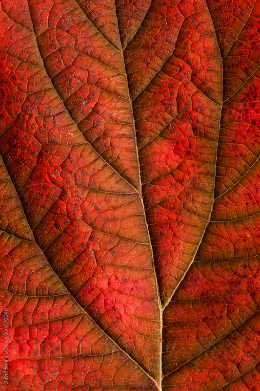 Autumn leaf detail showing surface texture and veins by David Smart for Stocksy United