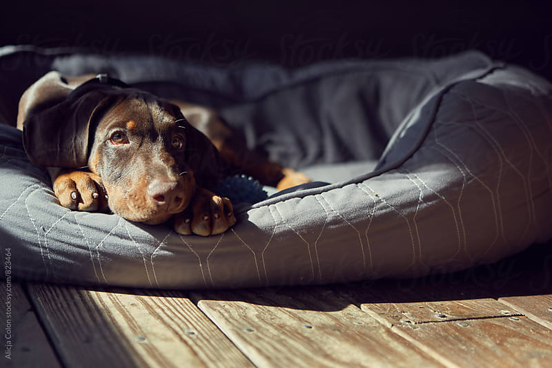 Sunbathing puppy by Alicja Colon for Stocksy United