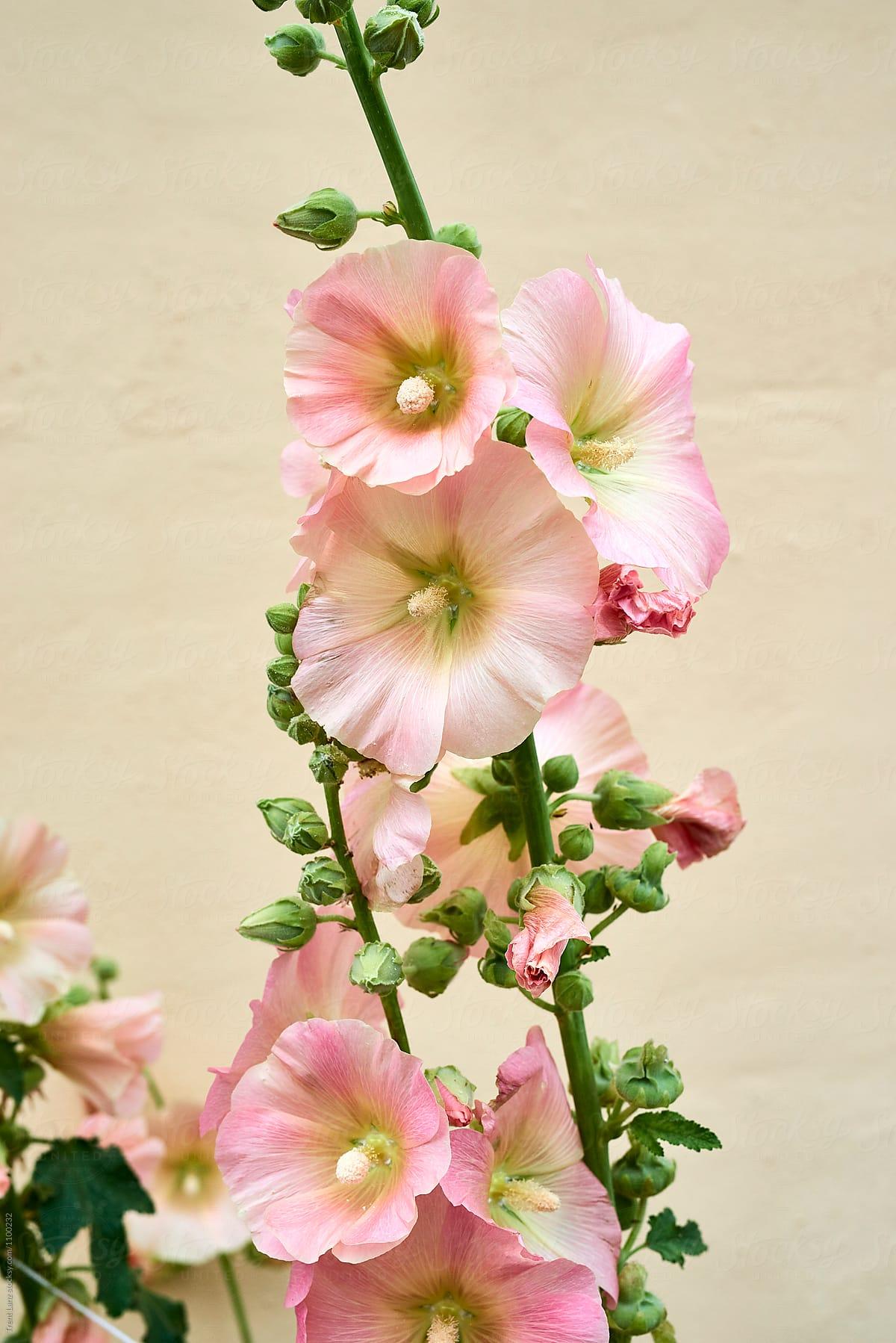 Light Pink Flowers Outdoor Stocksy United
