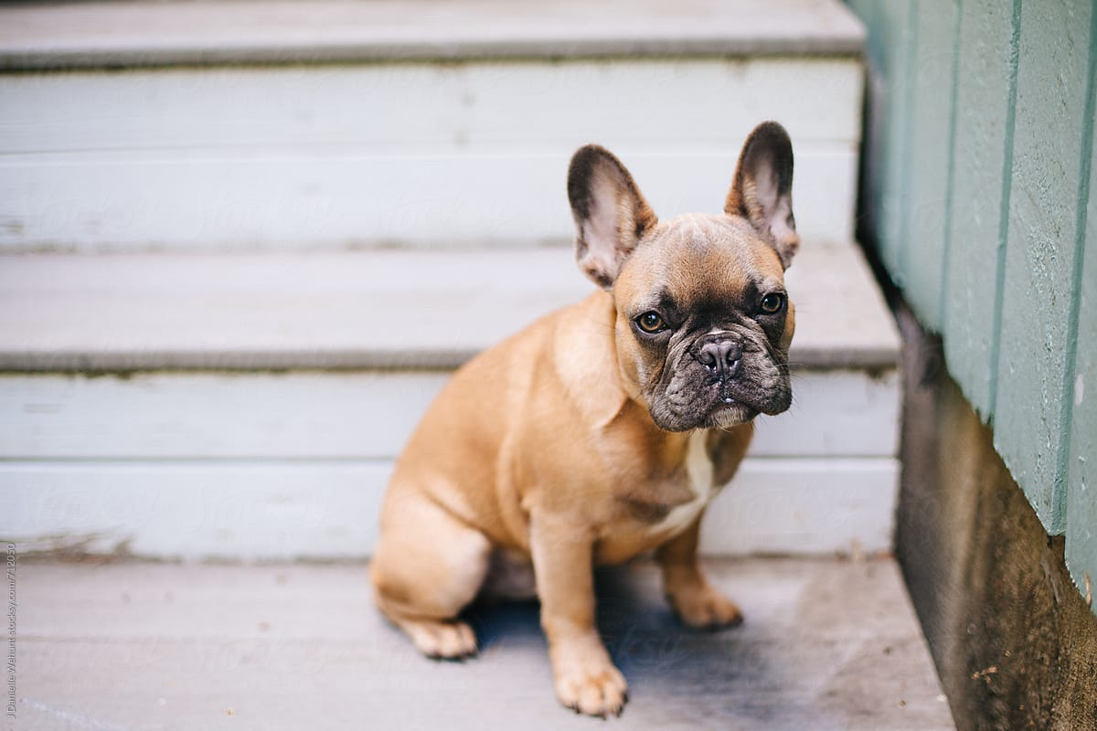 A Brown French Bulldog Puppy Sitting On Stairs Outside By J
