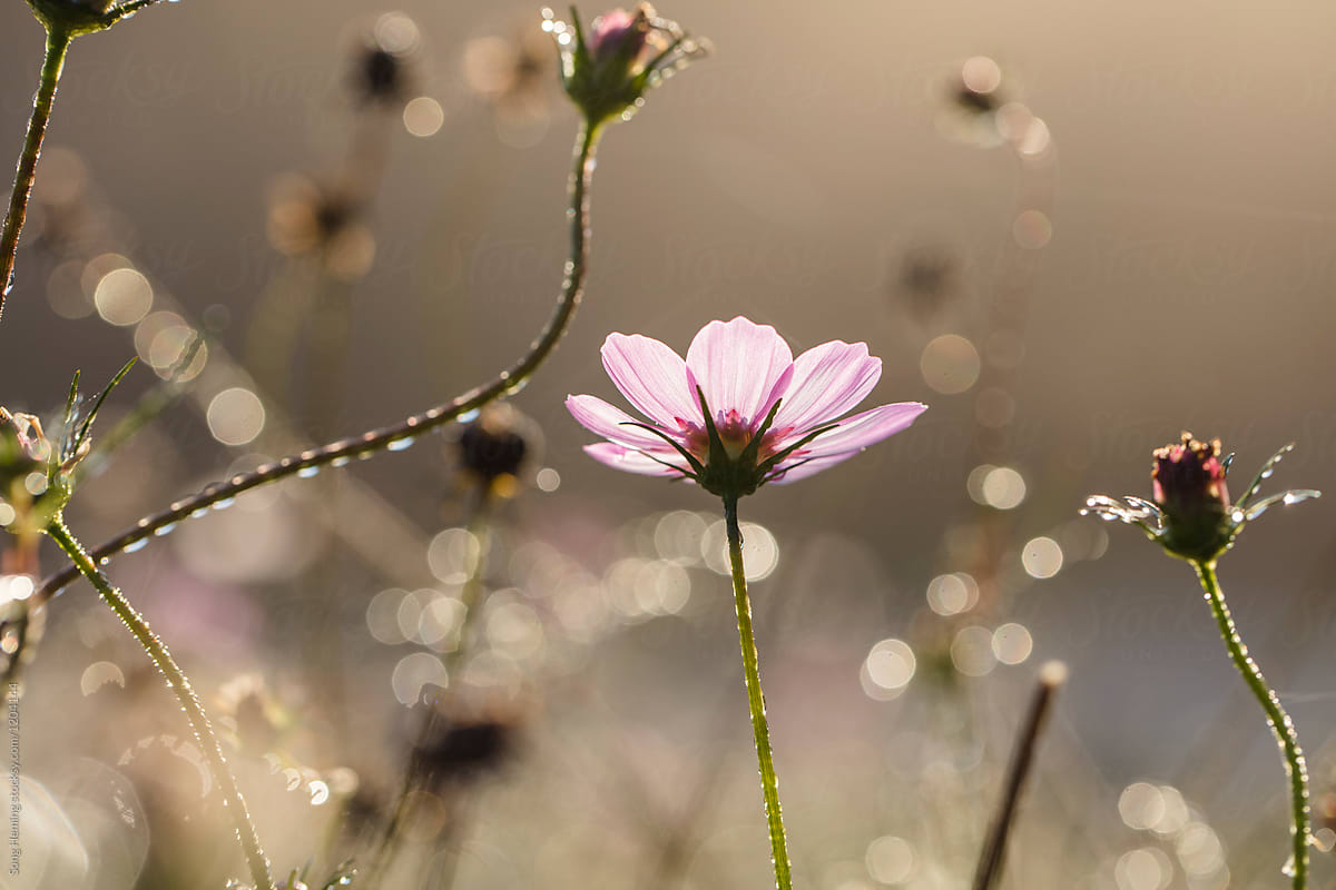 Water Droplets On A Pink Flower With Bokeh Under Backlight Stocksy