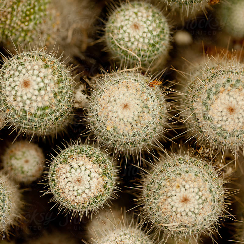 Cactus by Thomas Hawk for Stocksy United