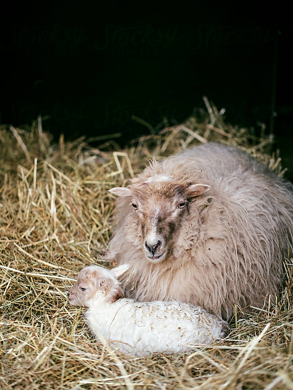 Mother sheep and newborn lamb lay together in sheepfold by Laura Stolfi for Stocksy United