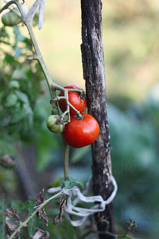Organic tomato in the garden  by VeaVea for Stocksy United