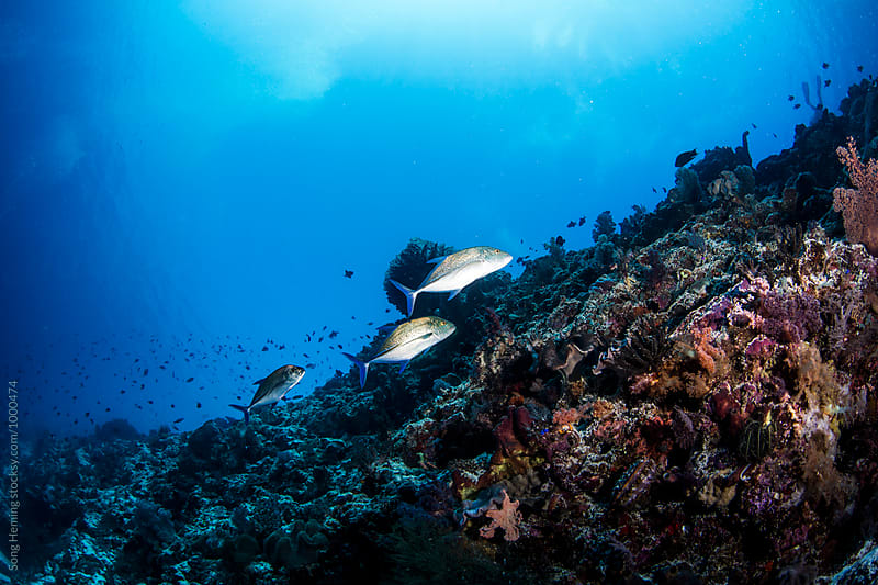 Trevally fishes hunting on the reef by Song Heming for Stocksy United