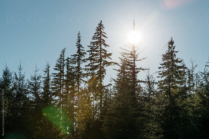Pacific Northwest Evergreen Trees In The Sun by Ronnie Comeau for Stocksy United