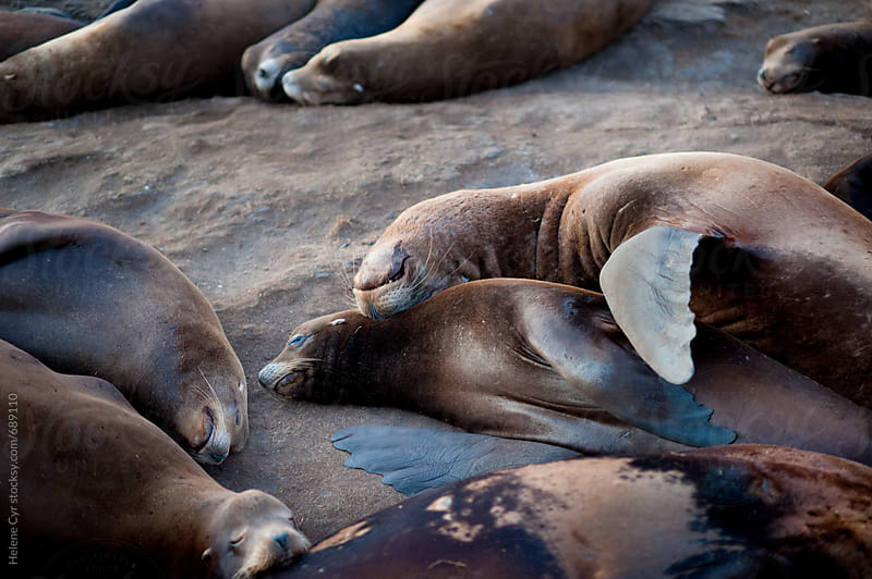 California Sea Lions sleeping by Helene Cyr for Stocksy United