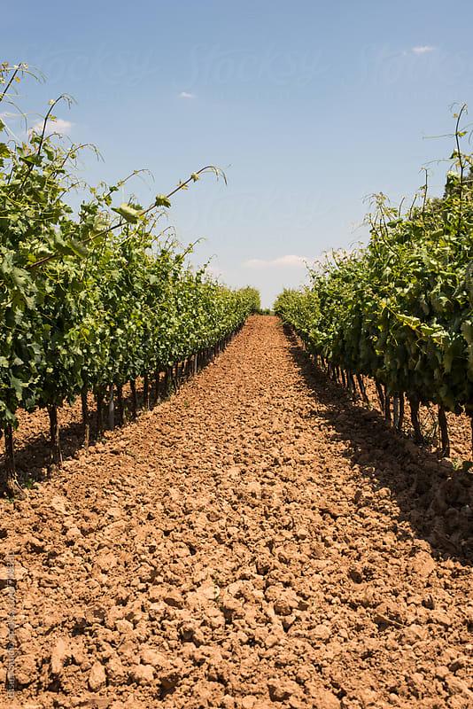 Vineyard in Ribera del Duero, Spain by Bisual Studio for Stocksy United