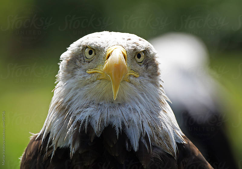 Bald Eagle II by Marilar Irastorza for Stocksy United