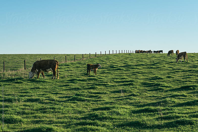 Herefored Cattle at Sunrise in a Field by Rowena Naylor for Stocksy United