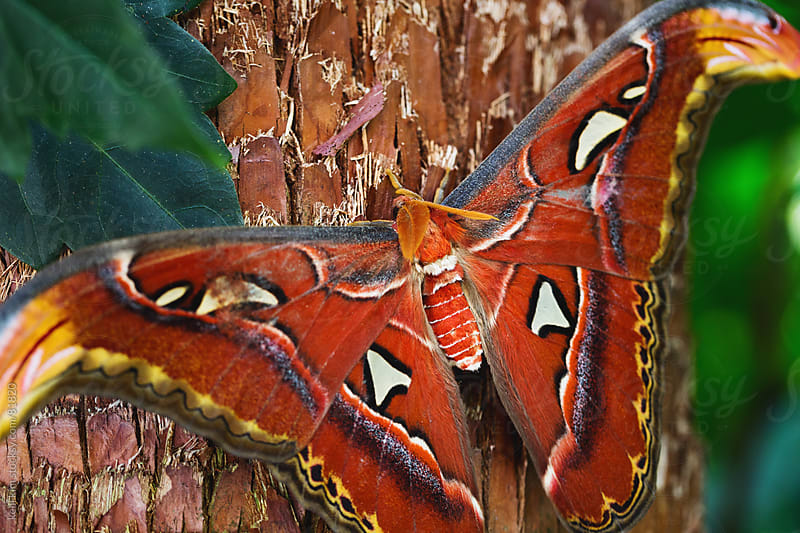 An orange-red Atlas Moth rests on a tree by Kelli Seeger Kim for Stocksy United