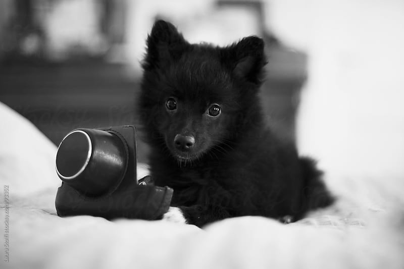 Pomeranian puppy dog playing with vintage leather camera bag and looking straight at the camera by Laura Stolfi for Stocksy United