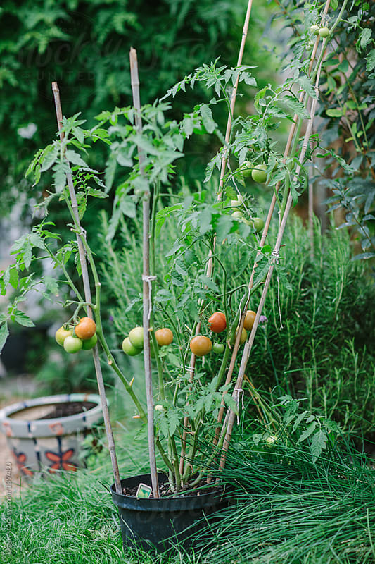 Tomato plants growing in a garden. by kkgas for Stocksy United