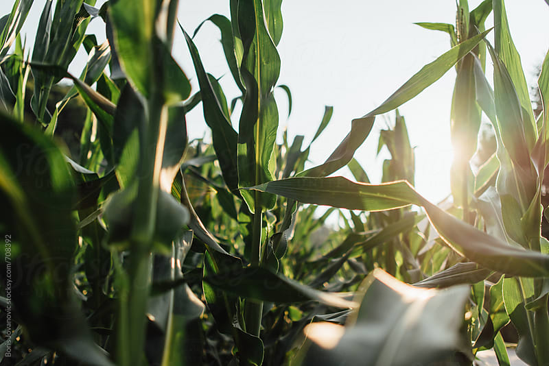 Close up of corn field and leaves  by Boris Jovanovic for Stocksy United
