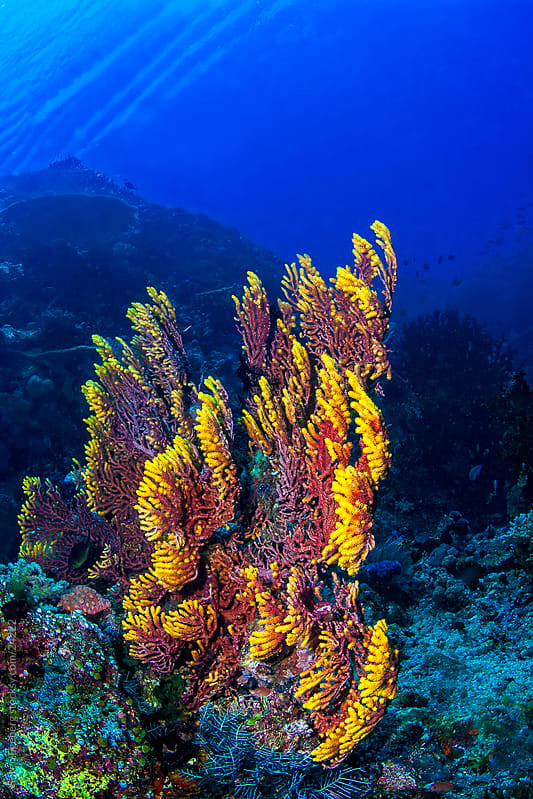Bright red and yellow Fan coral on the reef underwater in Malaysia by Soren Egeberg for Stocksy United