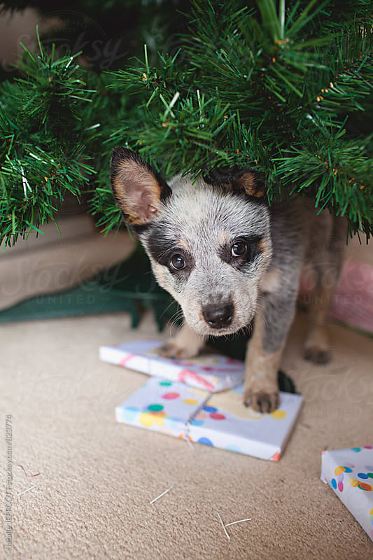 A young Blue Heeler puppy dog underneath the Christmas tree by Natalie JEFFCOTT for Stocksy United