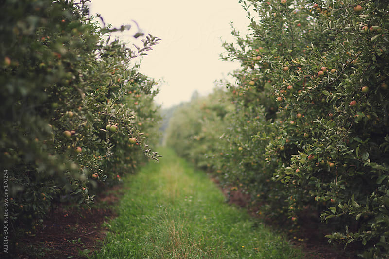 Autumn In the Apple Orchard by ALICIA BOCK for Stocksy United