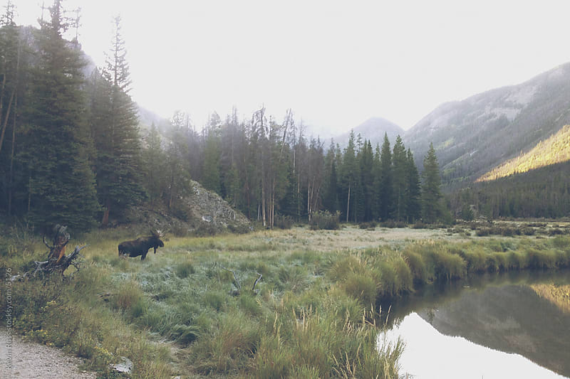 Quiet Meadow Moose by Kevin Russ for Stocksy United