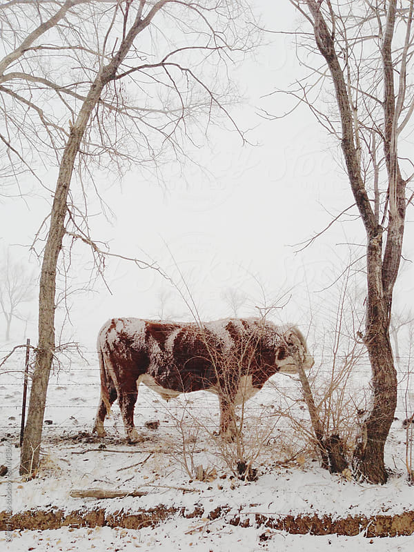 Snowy Cow In Between Trees by Kevin Russ for Stocksy United