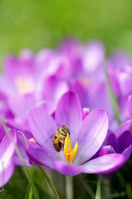 A bee on purple crocus flowers by Marcel for Stocksy United
